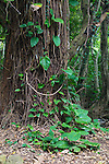A tree in the forest on Maui with a happy face made of natural materials, Hawaii, USA