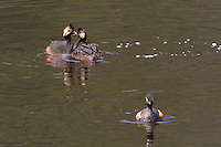 """The Eared Grebe (Podiceps californicus) sexes are virtually identical, but here there are two males vying for the attention of one female.  It appears one has been selected and the other sent """"packing""""."""