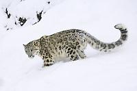 Snow Leopard walking down a snowy hill - CA