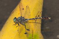 Unicorn Clubtail (Arigomphus villosipes) Dragonfly, Rockefeller State Park Preserve, Potanico Hills, Westchester County, New York