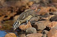 538660005 a wild female black-headed grosbeak pheucticus melanocephalus drinks from a small pond near the madera grasslands outside green valley arizona united states
