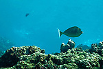 Bluespine Unicornfish, Naso unicornis, Maui Hawaii