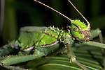 Jungle Nymph, Heteropteryx Dilatata, stick insect, green, camouflaged, Phasmid
