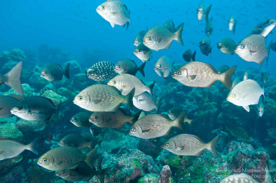Cocos Island, Costa Rica; a polarized school of Cortez Sea Chub (Kyphosus elegans) fish swimming over the rocky reef