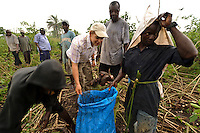 Rocco Falconer examining a cassava harvest at Sherifullah village, near Makeni, Sierra Leone.  Planting Promise sponsor a school at Sherifullah. Planting Promise is an organization dedicated to the development of education in Sierra Leone. Its aim is to bring opportunities to initiate self-run, self-supporting projects that offer real solutions to the difficulties facing the world's poorest country. They believe real and lasting development comes from below, from local projects that address specific needs, rather than large international models. To this end, they currently run five projects that aim to bring wealth into the country through business. The profits from these businesses are then used to support free education for children and adults...Through the combination of business with social progress, the charity hopes that they are providing real, lasting and profound changes for the better, by promoting sustainable and beneficial industry in the country, and putting it to the service to the needs of the people. As well as providing the income to fund the school, the farms will also be an example of successful commercial enterprise to teach the children in the school the viability of profit-making schemes that go beyond subsistence models, the only things the children of these desperately poor areas are accustomed to. By learning particular details of the challenges that they will face, the children will emerge from this school equipped to contribute in a real way to their society.