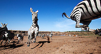 Burchell's Zebra herd running away from the Mara River, wide angle perspective (Equus quagga burchellii), Maasai Mara National Reserve, Kenya.