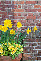 Spring container garden of yellow Narcissus daffodils with yellow perennial primroses in terracotta pot against brick wall for spring container garden