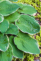 Hosta 'Hippodrome' - variegated foliage plant with thin cream edges. A hybrid of Christmas Tree