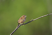 578680009 a wild male botteri's sparrow aimophila botteri perches on a dead stick in the madera grasslands near madera canyon pima county arizona united states