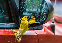 Saffron Finch (Sicalis flaveola) interacting with its image in a car mirror, an introduced species in Hawaii, USA