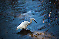 A Snowy egret and its reflection prowl the shoreline of a canal on Alameda's Bay Farm Island.