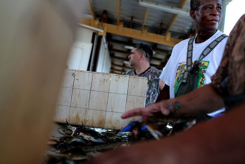 Sal Gagliano, center, Anthony Major, right, and Kimmie Serigne, far right, grade and pack blue crab on Delacroix Island, LA on May 22nd, 2010. Local fishermen were racing against time to catch crab and earn an income before the fishing industry completely shut down with oil contaminating the waters after the BP oil spill in the Gulf of Mexico. Currently blue crab fishing is the only industry open after shrimp and oyster fishing were closed a month earlier.