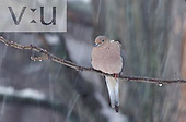 Mourning Dove and falling snow flakes. ,Zenaida macrorura,