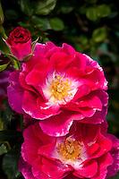 Shrub rose 'Plum Frost' red flower