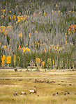 Elk herd in the fall colors of Rocky Mountain NP
