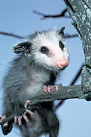 Baby possum, didelphis marsupialis,  hanging in a tree making eye contract