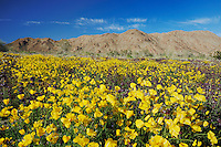 Desert in bloom with Parish's Gold Poppy (Eschscholzia parishii), Joshua Tree National Park, California, USA