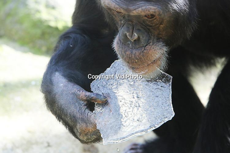Foto: VidiPhoto..AMERSFOORT - Heldere hap. Ondanks dat chimpansees een hekel hebben aan kou, zijn ze wel dol op ijs. En dat is er nog genoeg op dit moment, dankzij de aanhoudende vorst. Het bevroren water oefent woensdag een bijzondere aantrekkingskracht uit op de chimpanseefamilie van Dierenpark Amersfoort. De mensapen zijn er als de kippen bij om de stukken ijs uit de vijver te vissen.