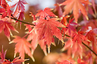Acer Palmatum 'Fall Fire'