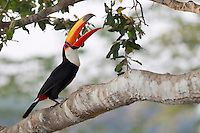 Toco Toucan (Ramphastos toco), Pantanal, Brazil