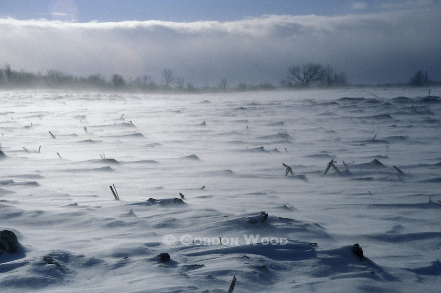 Cold Winter Wind Blowing Across Snow-Laden Cornfield