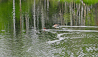Canada Goose and Red headed Merganser swim through a reflected forest on a Montana pond.