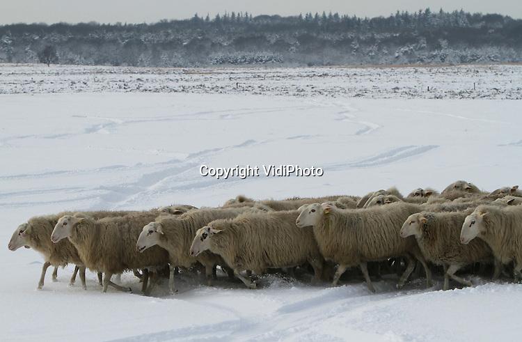 Foto: VidiPhoto..EDE - De 159 heideschapen van schaapherder Henk van de Brandhof halen maandag op de Ginkelse hei bij Ede even een frisse neus. De dieren vreten de toppen van de heideplantjes die boven de sneeuw uitsteken. De Edese schaapherder stuurt de dieren ook in de sneeuw naar buiten zodat ze voldoende beweging krijgen. Na enkele uren keren ze vanzelf terug. Omdat ze drachtig zijn en geen stress kunnen verdragen, krijgen de schapen deze periode in ieder geval geen border collies achter zich aan.