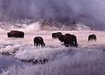 bison in autmn in Biscuit Basin