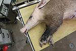 Foto: VidiPhoto<br /> <br /> ARNHEM - Een bijzonder gebeurtenis in Burgers' Zoo in Arnhem donderdag. Bij het hoogbejaarde aardvarken Snuffie (1994) moest onder narcose een fistel van wild vlees verwijderd worden. De vergroeiing was ontstaan na een steekwond die vervolgens niet meer wilde genezen. De operatie, uitgevoerd door dierenarts Henk Luten, duurde ongeveer een uur. Het was de tweede ingreep in korte tijd. Enkele weken geleden werd het dier geopereerd aan artrose aan een van de achterpoten. Burgers' Zoo is de enige dierentuin in Nederland met aardvarkens. In heel Europa leven slechts dertig aardvarkens in dierentuinen. In Afrika worden aardvarkens beschouwd als een plaag omdat ze onder akkers enorme holen graven.