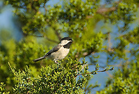511820005 a wild carolina chickadee poecile carolensis perches in a fir tree in the texas hill country of central texas