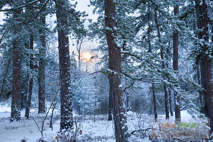 Pine Barrens winter landscape, New Jersey