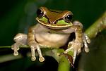 Masked Tree frog, Smilisca phaeota, Hacienda Baru, Costa Rica, tropical jungle, portrait, on leaf,.Central America....