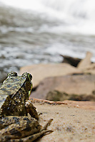 A mink frog sits beside Rock River Falls in the Rock River Canyon Wilderness Area in Michigan.