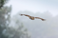 Barred Owl in flight on cloudy day