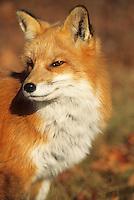 Red Fox Side Portrait #W49