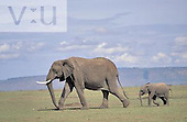 A baby African Elephant with its mother. ,Loxodonta africana, Masai Mara Game Reserve, Kenya