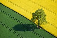 Eiche zwischen Getreide  und Rapsfeld im Fruehling: EUROPA, DEUTSCHLAND, SCHLESWIG- HOLSTEIN, 01.05.2014: Eiche zwischen Getreide  und Rapsfeld im Fruehling