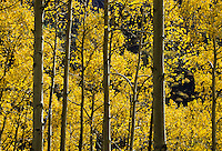 Close up of Yellow aspen trees in Colorado