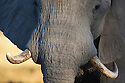 Botswana, Okavango Delta, Moremi Game Reserve, African elephant bull (Loxodonta africana) with one backward twisted tusk