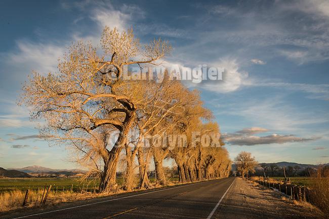 Budding cottonwood trees in spring, Mason Valley, Nev.