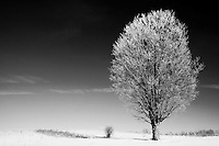 Tree with Hoar Frost - Black and White