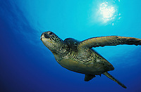 mx14. Green Sea Turtle (Chelonia mydas). Hawaii, USA, Pacific Ocean..Photo Copyright © Brandon Cole. All rights reserved worldwide.  www.brandoncole.com..This photo is NOT free. It is NOT in the public domain. This photo is a Copyrighted Work, registered with the US Copyright Office. .Rights to reproduction of photograph granted only upon payment in full of agreed upon licensing fee. Any use of this photo prior to such payment is an infringement of copyright and punishable by fines up to  $150,000 USD...Brandon Cole.MARINE PHOTOGRAPHY.http://www.brandoncole.com.email: brandoncole@msn.com.4917 N. Boeing Rd..Spokane Valley, WA  99206  USA.tel: 509-535-3489