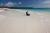 Galapagos sea lion on Gardner beach, Espanola Island, Galapagos Islands, Ecuador.