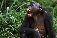 Bonobo mature male yawning (Pan paniscus), Lola Ya Bonobo Sanctuary, Democratic Republic of Congo.