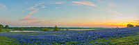 This is a panorama of a field of bluebonnets at sunrise near Ennis Texas.  It had a nice field with a watering hole or tank as some call it on this Texas ranch along with a nice sunrise casting some nice colors in the clouds.