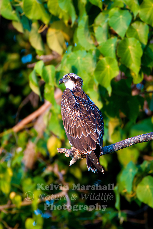 Osprey pandion haliaetus kelvin marshall nature for Fish hawk bird