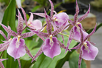 Stock Orchid Images | Intergeneric Oncidium Group