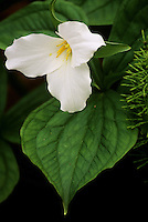 Full bloom of Trillium grandiflorum with hosta leaf at twilight in Van Dusen Botanical Garden, Vancouver, BC