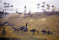 WETLANDS<br /> Canadian Geese<br /> Jamaica Bay, NY