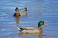 Mallard drake quacking with another drake in the background. North Little Rock, Arkansas.